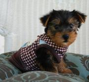 Cute And Adorable Teacup Yorkshire Terrier For Adoption