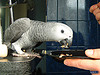 nice afiracn grey parrots available